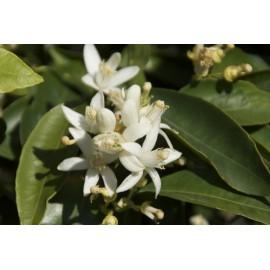 Miel de fleurs d'agrumes 500 gr